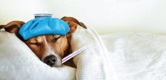 Can Your Pet Get the Flu? What You Need to Know About CIV